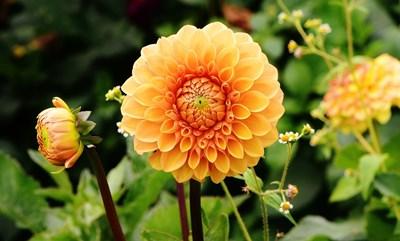 Далията - царица на есенната градина