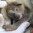 Коала се роди в австралийски зоопарк за пръв път след пожарите (Видео)