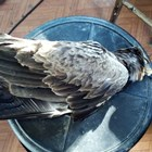 Малък креслив орел. СНИМКА: Българско дружество за защита на птиците