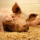 Започна приемът по подмярка 4.1 за инвестиции в животновъдните стопанства