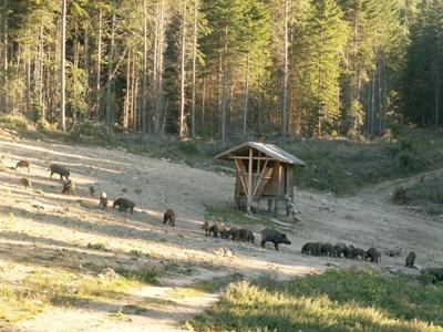 Все по-рядко се намират диви прасета в районите на ловните дружинки. На авджиите ще се наложи да се пренасочат към хищници, сърни и дребен дивеч.