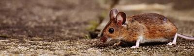 Хормонът на глада влияе на паметта - за изследването са използвани мишки. Снимка: Пиксабей