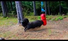 Боксова круша в гората