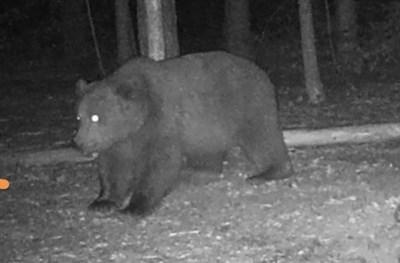 Предполага се, че това е животното, което нападна жена. Снимана е от фотокапан за мечки.