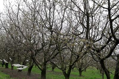 Пролетните температури през януари и февруари подлъгаха и овошките. Снимка: 24 часа