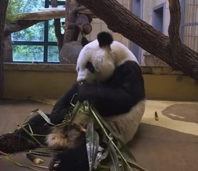 Юан Юан пристигна във Виена миналия месец, но трябваше да прекара няколко седмици под карантина  Кадър: youtube/Zoovienna Tiergarten Schonbrunn