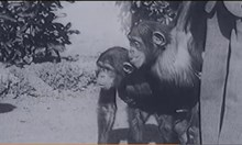 Преди 92 години СССР опитва да кръстоса маймуни с хора. Ражда се СПИН