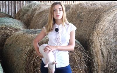 Как овцата може да затрие свинята (видео)