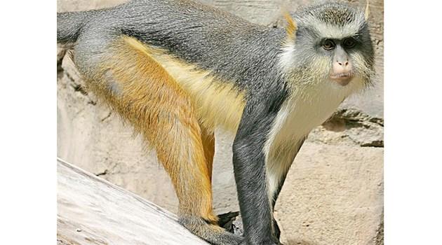 Търсят маймуна за свидетел в съда