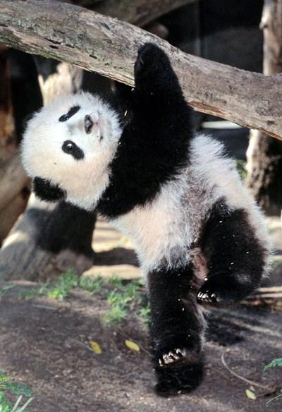 Голямата панда вече не е застрашена от изчезване СНИМКА: РОЙТЕРС