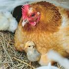 Когато искате да имате добри мътачки, най-добре е да си купите от местните непородисти кокошки.