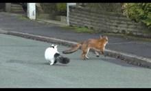 Лисица и котка