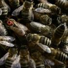 Има ли разлика в качествата на пчелните майки, ако се отглеждат от яйца или от ларви?