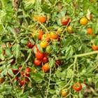 Детерминантни домати