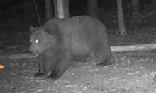 Нападнатата от мечка жена била с бебето на гърба си