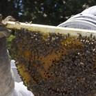 Много от професионалните пчелари са привърженици на естествените методи на борба с аскосферозата. Те напълно изключват използването на препарати и залагат на естествените методи. Вижте кои са те!