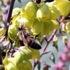 промените в климатичните модели също могат да повлияят на сезонната наличност на цъфтящите растения. Това изисква пчеларите да използват изкуствени източници (захарен сироп, царевичен сироп и полени заместители), за да се опитат да посрещнат повишените хранителни нужди на своите пчелни семейства.