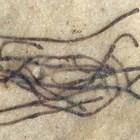 Водораслото Proterocladus antiquus СНИМКА: Ройтерс