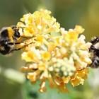 Има и още тревожна статистика: Общите приходи от опрашване са 50 пъти повече от приходите от директни продажби на пчеларски продукти.