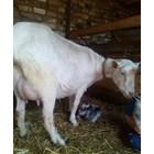 В пиковите лактационни периоди млеконадоят на средностатистическа коза достига 4 л