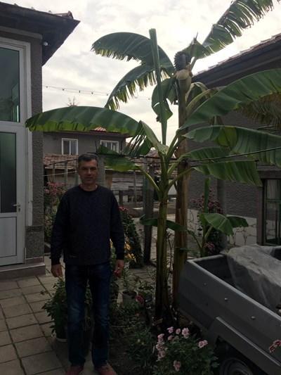 Иван  Главнов е първият в Катуница, който е започнал да развъжда бананови палми.