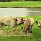Британско бяло говедо