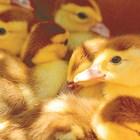 Меню за 7-дневни пилета/гъсета