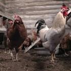 Кокошарникът ви трябва да е топъл и с ниска влажност. Ако времето сутрин е много студено, пускайте кокошките в дворчето за разходка в обедните часове