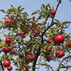 При старото ябълково дърво