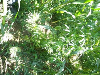Заловиха млад мъж да тори нива с канабис