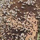 Добре е използването на восъкоотделянето на пчелите да се съчетае с воденето на борбата срещу вароатозата