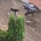 """Два огромни бика тероризират жители на столичния кв. """"Лозенец"""" КАДЪР: Нова тв"""