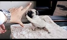 Мопсът не е точно като другите кучета...