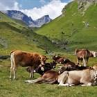 Ще стане ли пасищното мляко стандарт?