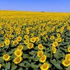 Кои са шестте различни ползи при третиране на слънчоглед с Амалгерол Есенс? (част 1)