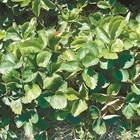 Листни петна по ягодите