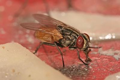 Стайна муха, известна още като домашна муха Снимка: Уикипедия