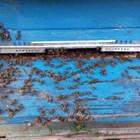 Силното опаразитяване на пчелното семейство може да доведе до смъртта