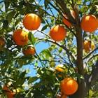 Портокалите съдържат вещество с потенциално приложение срещу коронавируса