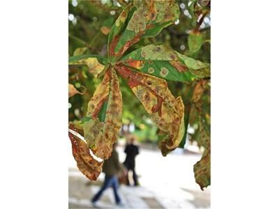 """Листата на проядени от молци кестени в Борисовата градина. СНИМКИ: """"24 ЧАСА"""""""