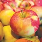 Най-продължително се съхраняват плодове от т. нар. зимни сортове. Важно е да са прибрани в подходяща зрелост. Също така трябва да са здрави, без нападение от болести и неприятели, както и от механични повреди.