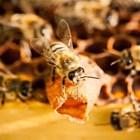 Европарламентът призова за по-строги правила за защита на пчелите от пестициди
