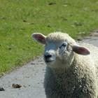 Публикуваха списъци с животновъди и кланици, които могат да участват в помощта за българско агнешко