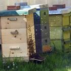 При силно опаразитяване се нарушава толерансът между популацията пчели и паразити и семейството изпада в колапс.
