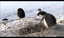 Пингвин подлец