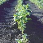 Подходящо време за засаждане на картофи