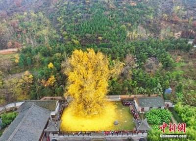 10 вековни дървета в Източен Китай получиха 500 000 юана