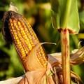 Властите във Великобритания се надяват местните растения да станат по-устойчиви на климатичните промени с помощта на генно редактиране.