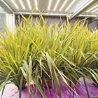 Учените са постигнали важен пробив – над 120-дневният цикъл за отглеждане на ориз при традиционни полски условия е съкратен наполовина
