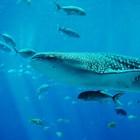 Китова акула в кадър